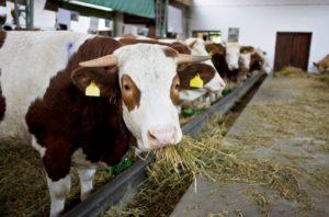 Сколько стоит 1 кг сена для коровы 2019 года